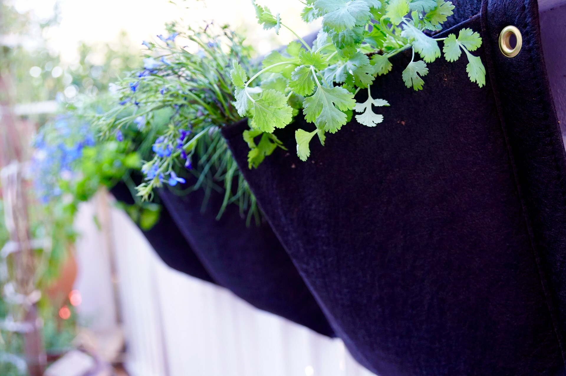 Growing Cool Weather Herbs in Containers –  Chives, Cilantro and Parsley