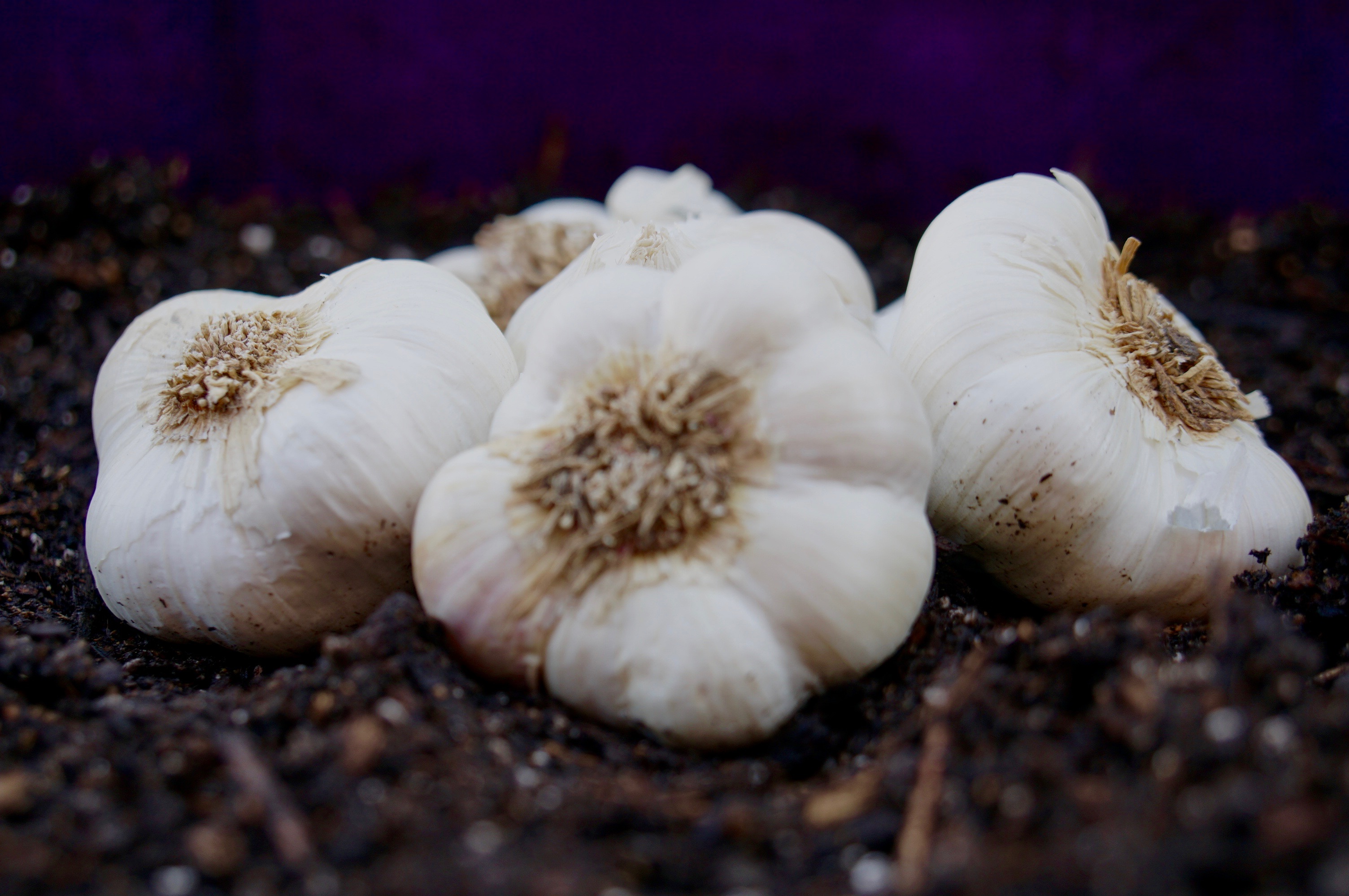 Growing Garlic – Plant it and Forget it!