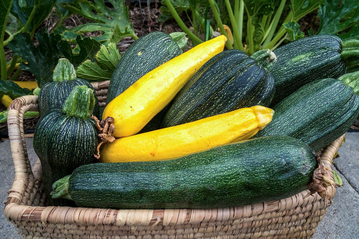 Growing Zucchini Containers & Controlling Blossom End Rot and Powdery Mildew
