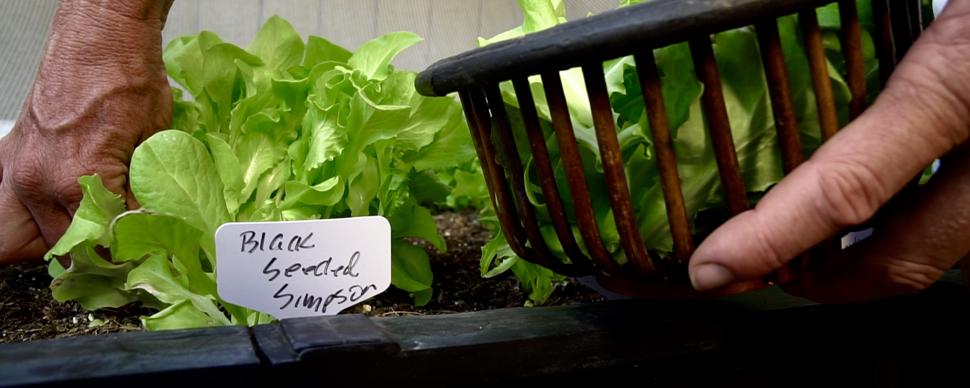 Growing Lettuce in Extreme Summer Heat?  Yes, You Can – In a Vegepod!